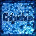 Chihuahuas foto
